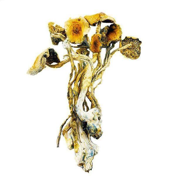 Amazonian Mushrooms 2